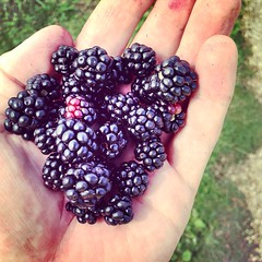 Blackberries (Michael Goldrei (microsketch)) Tags: london flickr blackberry 14 august picked aug blackberries picking walthamstow iphone marshes 2014 iphonography