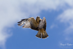 Juvenile Swainson's Hawk launch sequence (1 of 3)
