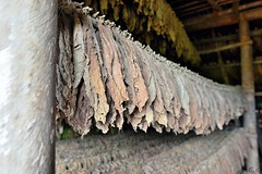 Cuba . Pinar Del Rio . tabac  cigare (pontfire) Tags: voyage road street trip travel urban holiday color tourism vintage landscape o