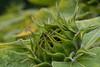 Macro of closed sunflower (alexander.dischoe) Tags: flower macro nature fleur closeup nikon natur sunflower blume makro nahaufnahme virág sonnenblume festbrennweite d7100 afsmicronikkor105mm nikond7100
