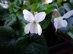 Viola odorata 'Alba'