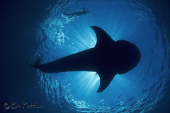 Whale Shark (bodiver) Tags: silhouette ambientlight wideangle freediving rays whaleshark fins islamujeres snellswindow