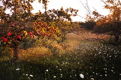 Apples and Queen Anne's Lace (Madison Guy) Tags: sunset wisconsin orchard apples sunsetlight doorcounty queenanneslace goldenhour sisterbay