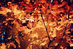 Leaves (Sareni) Tags: autumn tree up leaves leaf october colours slovenia slovenija maribor twop 2014 drvo jesen lisce sareni