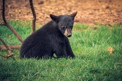 Bear Cub Sitting Around (Bartfett) Tags: bear arizona black cute green look grass cub sitting williams bears small ears sit cubs bearizona