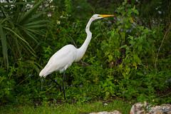 GreatEgret01 (Miracle Man) Tags: bird animals fauna nikon florida miami everglades egret avian greategret d800 miracleman robmiracle sharkvalleynature