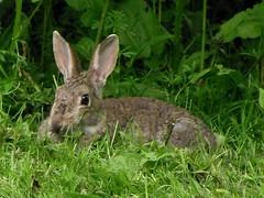 rabbit (menchuela) Tags: animals rabit out noone menchuela british fauna