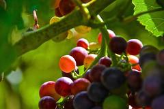 (Karl Lenard) Tags: frucht grape trauben weintraube