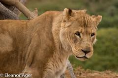 9F7A0763 (eleivory) Tags: animals zoo lion bigcats werribee werribeezoo zoosvictoria
