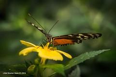 www.focus-on-happiness.com (Littal Shemer Haim) Tags: flower nature animal closeup butterfly germany leaf wing bodensee  haim mainau shemer   littal wwwfocusonhappinesscom