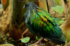 manenduif - Caloenas nicobarica - Nicobar Pigeon (MrTDiddy) Tags: bird yellow pigeon nails mechelen planckendael vogel nagels gele nicobar duif manen manenduif caloenas nicobarica dierenparkplanckendael