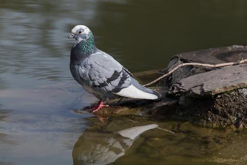 Pigeon_3593
