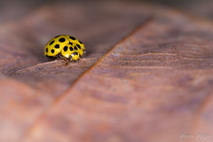 Le maillot jaune à 22 points (regisfiacre) Tags: coccinelle 22 vingtdeux points psyllobora vigintiduopunctata ladybug 22spot insect insecte bug bugs nature sauvage wild wildlife microcosme microcosmos macro macrophoto macrophotographie yellow jaune gelb noir black schwartz punckte micro canon 5div mark 4 iv sigma 150mm feuille leaf forêt forest bois woods moselle france wald flickrunitedaward