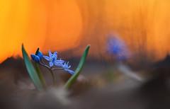 Blaustern (MichaSauer) Tags: scilla bifolia zweiblättriger blaustern twoleafsquill squill sonnenuntergang sunset makro macro sternhyazinthe vroegesterhyacint scilleàdeuxfeuilles frühblüher flower