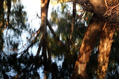 Australian reflections (tess01b) Tags: gum trees water nature reflection naturescenes save earth