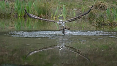 Osprey (KHR Images) Tags: osprey pandionhaliaetus fishing withfish inflight wild bird aviemore cairngorms scotland wildlife nature nikon d7100 300f4 4amalarmcall kevinrobson khrimages