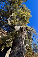 Alzina d'Herba-savina 3 (Xevi V) Tags: pallarsjussà carreu tree arbre isiplou quercus alzina holmoak oak