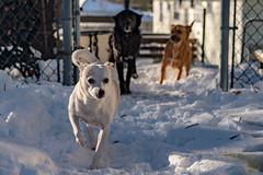 2017_03_15_Snow_Dogs (6 of 13) (tonysacco.photo) Tags: d500 nikon sacco saccophoto tony tonysacco photo