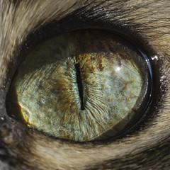 Cat Eye (fondrakes) Tags: sony a5100 sel1650 macro eye cat cateye макро look feline beautiful predator close animal detail closeup shot kitten pet kitty