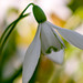 Snowdrop (Anthony White) Tags: pamphill england unitedkingdom gb kingstonlacey nt nature flower white snowdrop macromondays macro dorset dof natur green light