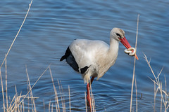 cigogne (ram8t) Tags: parc ornithologique gros oiseaux cigogne anguille chasse gironde teich