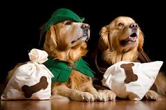 Ruff 'n Hood and Friar Pup 11/52 (bztraining) Tags: dogchal henry odc zachary bzdogs bztraining golden retriever 3652017 100xthe2017edition 100x2017 image28100 52weeksfordogs