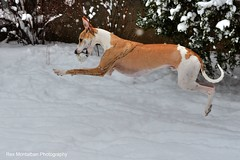 toby loves snow (Rex Montalban Photography) Tags: rexmontalbanphotography dogs whippets