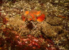 Jaggy Crack June 8 2014 (roncasual) Tags: scuba diving crack jaggy porpoisebaycharters divingpacificnorthwest