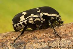 IMG_5770 (Manuel Balczar Lara) Tags: beatles coleoptera scarabs melolonthidae