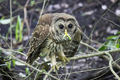 Barred Owl (DFChurch) Tags: wild bird florida swamp meal owl predator corkscrew barred audubon strixvaria explored