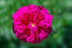 Rose de Rescht (12bluros) Tags: flores flower floral rose portland flora magenta fuchsia rosa buds 1001nights rosette petite deeppink pinl rosederescht oldgardenrose macroflowerlovers 1001nightsmagiccity doublebloomming fuchsiacrimson