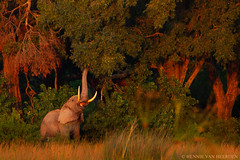Bush breakfast (hvhe1) Tags: wild elephant nature forest sunrise feeding reaching wildlife botswana elefant tusks olifant éléphant loxodontaafricana okavangodelta specanimal hvhe1 hennievanheerden specanimalphotooftheday