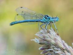 P6220176.jpg (Carl Blythe) Tags: bugs canals damselfly 2014 wildlifewatch llamgolencanal