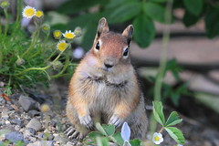 Golden mantled ground squirrel (Paridae) Tags: cuteanimals groundsquirrels goldenmantledgroundsquirrel mammalsofbritishcolumbia mammalsofmanningpark groundsquirrelsofmanningpark