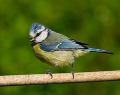 Blue Tit (Mukumbura) Tags: blue england bird yellow garden adult bluetit gettyimages cyanistescaeruleus