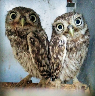 Rescued Little-Owls
