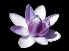 Seerose (Globetrotter_J) Tags: pink black flower macro portugal nature water canon petals wasser 100mm blume makro blte schwarz seerose
