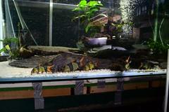 Half of my shoal (Nano Second Artist) Tags: fish lens nikon clown tropical kit 1855mm loach freshwater botia macracanthus macracantha chromobotia d3100