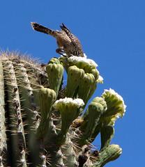Cactus Wren in Saguaro Flower (ksblack99) Tags: boycethompsonarboretum superior arizona garden arboretum cactuswren saguaro cactus flower campylorhynchusbrunneicapillus