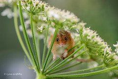 Harvest mouse trying to hide D61_2475-3.jpg (Mobile Lynn) Tags: england macro nature closeup fauna unitedkingdom wildlife ngc npc 500v50f rodents harvestmouse watermarked coth greatphotographers supershot specanimal platinumheartaward simplysuperb greensnorton coth5 macrolensphotography greaterphotographers sunrays5