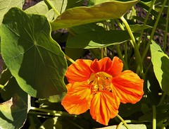 A flower for my salad (MissyPenny) Tags: flowers orange nature leaves outdoors nasturtiums bristolpennsylvania