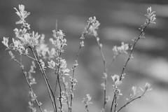 Sticks (Minolta 505si, AgfaPhoto APX 100) (baumbaTz) Tags: blackandwhite bw plants plant slr film water monochrome analog river germany deutschland iso100 blackwhite wasser minolta bokeh atl pflanze pflanzen ishootfilm 150 m42 scanned apx100 april epson sw analogue dynax monochrom grayscale pentacon agfa rodinal schwarzweiss fluss apx analogphotography 505 2200 greyscale 2014 oste 200mm niedersachsen lowersaxony filmphotography jobo fpp ilovefilm v500 505si adox adonal filmisnotdead autolab vuescan analoguephotography bremervörde minoltadynax505sisuper istillshootfilm bremervoerde filmforever pentacon200mm epsonv500 agfaphotoapx100 adoxadonal filmphotographyproject adofix believeinfilm blackandwhiteology joboautolabatl2200 20140419