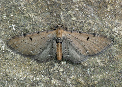 1830 Wormwood Pug - Eupithecia absinthiata (erdragonfly) Tags: eupitheciaabsinthiata