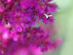 Purple&green [Explored] (Eugenie) Tags: summer macro green closeup garden spring purple blossom bokeh violet explore blooming floralessence
