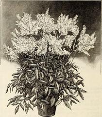Anglų lietuvių žodynas. Žodis astilbe japonica reiškia <li>astilbe japonica</li> lietuviškai.