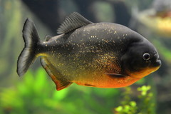 Piranha (pringle-guy) Tags: fish london animals nikon sealife piranha londonaquarium