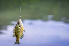 Fish (M$ingh.) Tags: statepark ohio usa fish nature fishing nikon wildlife hunting athens aquatic hook pisces fins freshwater stroudsrun d7100 bonyfish nikond7100