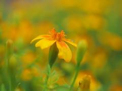 flower dreams in orange P6293533 (hlh 1960) Tags: light summer flower green fleur yellow licht soft bokeh sommer summertime