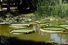 Water lily (ddsnet) Tags: plant waterlily sony taiwan 99   taoyuan aquaticplants  slt         nymphaeatetragona    singlelenstranslucent 99v