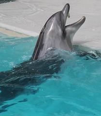 Dolphin at Marineland in Niagara Falls, Ontario (William Wilson 1974) Tags: bear park sea fish ontario canada niagarafalls amusement buffalo dolphin lion deer killer whale carp elk belugawhale bison walrus killerwhale reddeer albinodeer